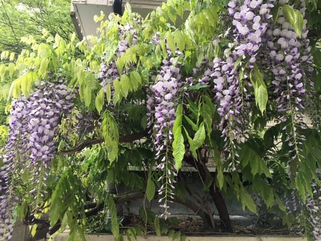 藤の花・・・・夏野菜の苗 定植間近・・_c0222448_12062608.jpg