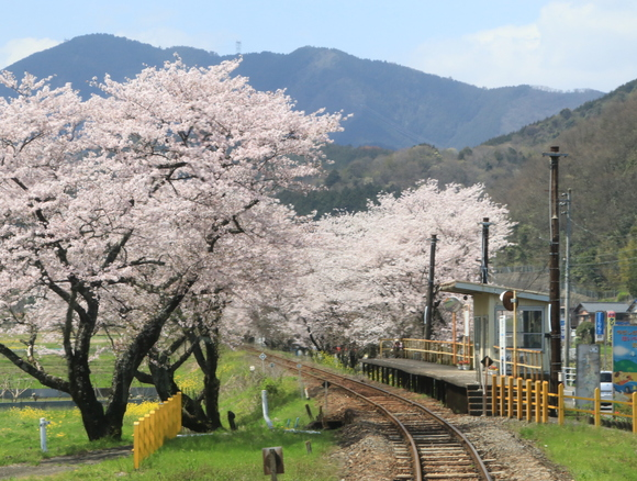 2017年 4月 樽見鉄道 春 ハイモ230_d0202264_441331.jpg