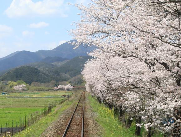 2017年 4月 樽見鉄道 春 ハイモ230_d0202264_4414857.jpg