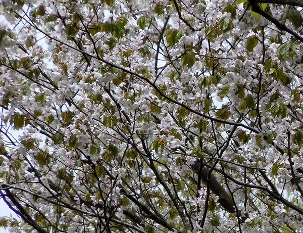 最後の桜と見頃の躑躅を楽しむ_b0102572_14363666.jpg