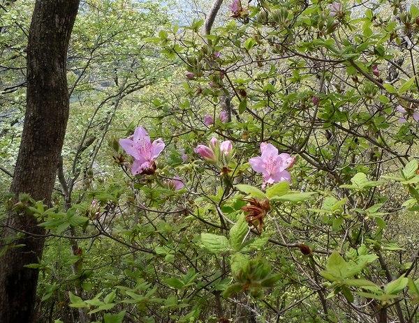 最後の桜と見頃の躑躅を楽しむ_b0102572_14512076.jpg