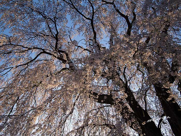 田多井の枝垂桜2_c0085877_4571345.jpg