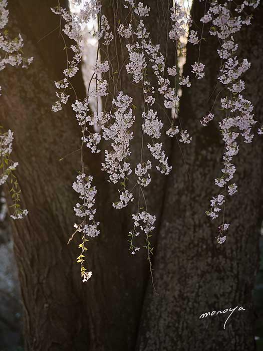 田多井の枝垂桜2_c0085877_4572323.jpg