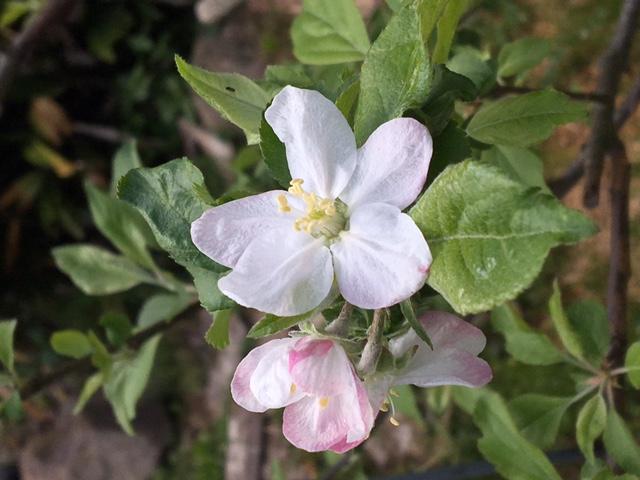 林檎の花咲く_d0034988_1492858.jpg