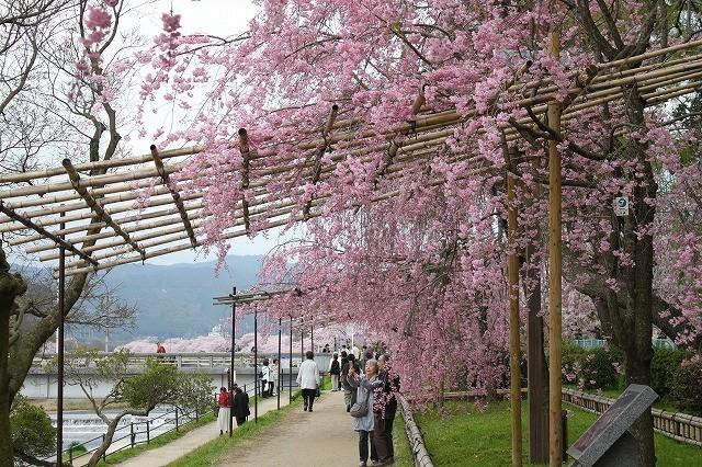 京都 半木の道 2017 春_f0374092_16295228.jpg