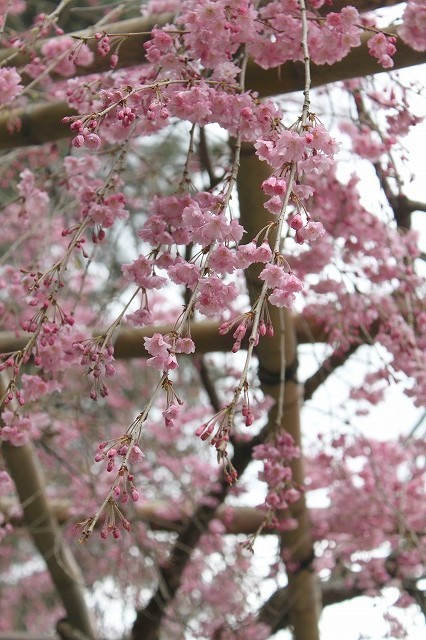 京都 半木の道 2017 春_f0374092_16320399.jpg
