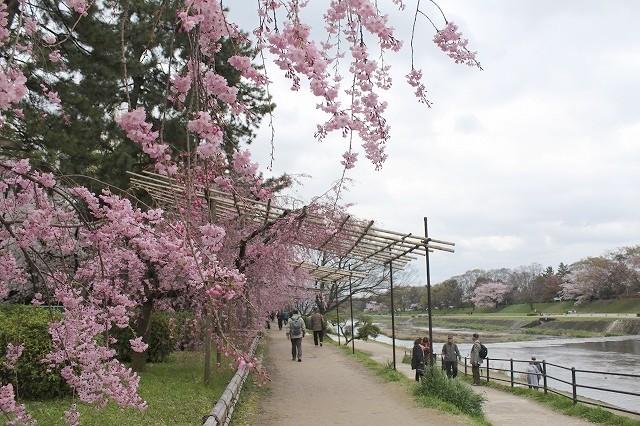 京都 半木の道 2017 春_f0374092_16350122.jpg