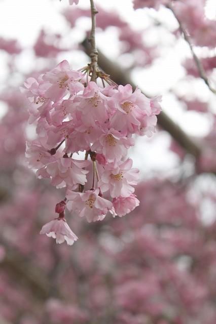 京都 半木の道 2017 春_f0374092_16363344.jpg