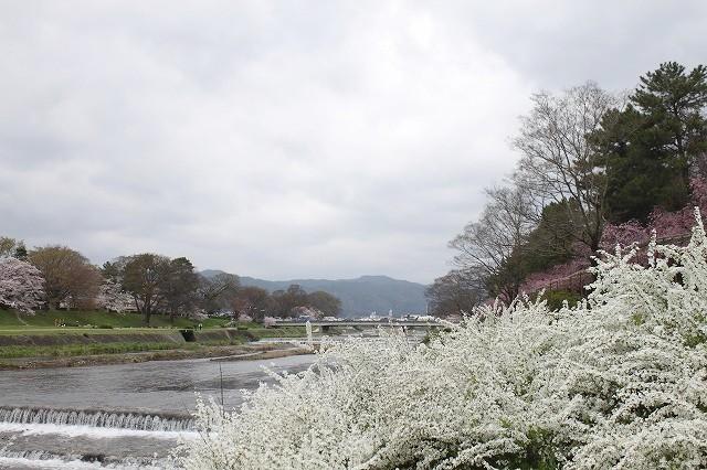 京都 半木の道 2017 春_f0374092_16384805.jpg