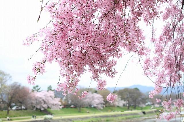 京都 半木の道 2017 春_f0374092_16440276.jpg