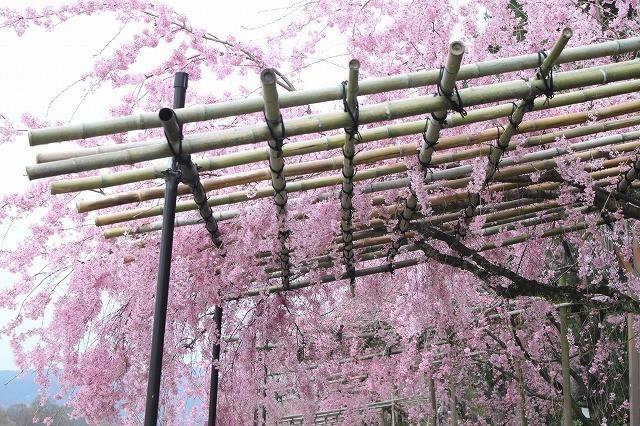 京都 半木の道 2017 春_f0374092_16443280.jpg
