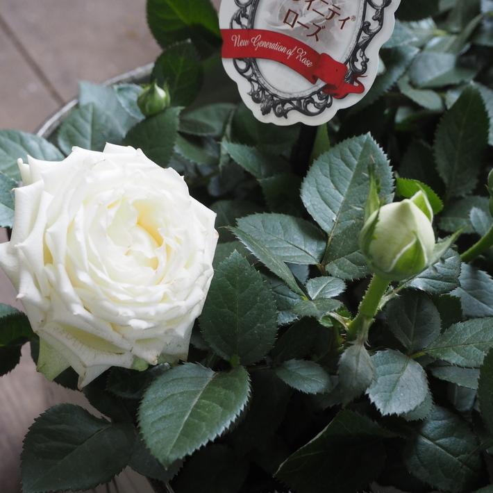 バラがいっぱいです。_a0292194_2023595.jpg