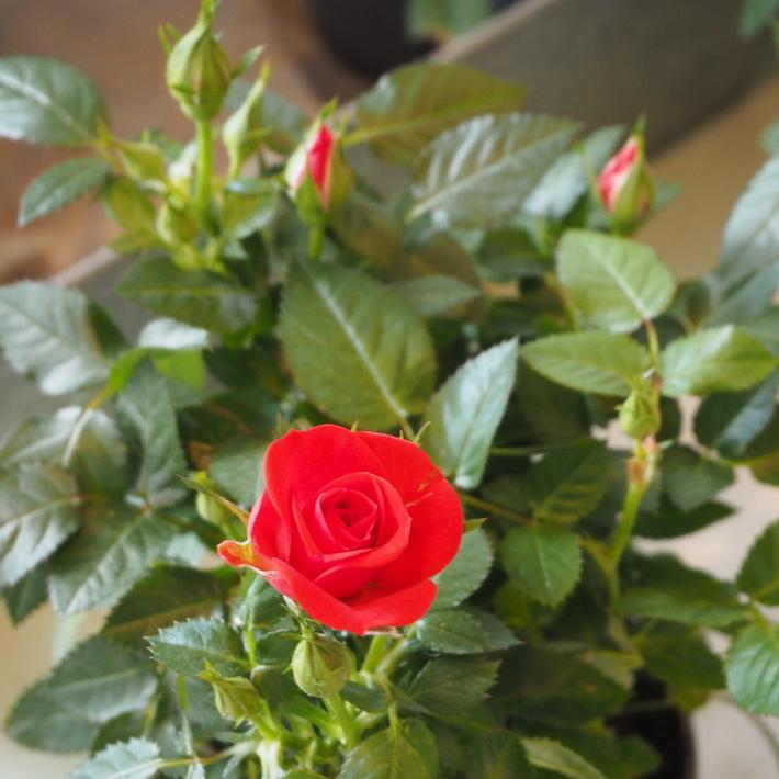 バラがいっぱいです。_a0292194_20323183.jpg
