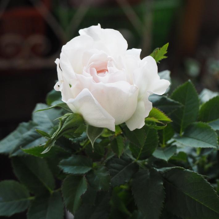 バラがいっぱいです。_a0292194_20382438.jpg