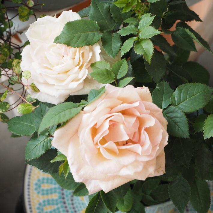 バラがいっぱいです。_a0292194_20392394.jpg