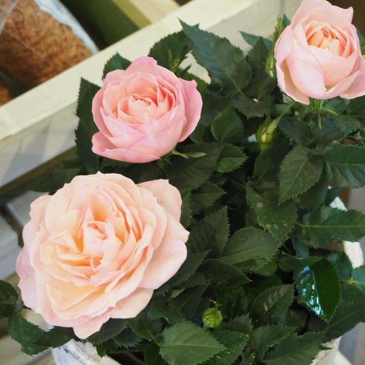 バラがいっぱいです。_a0292194_20402438.jpg