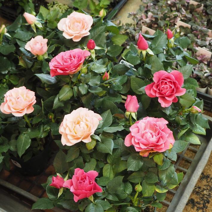 バラがいっぱいです。_a0292194_20483992.jpg