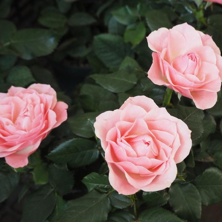バラがいっぱいです。_a0292194_20492027.jpg
