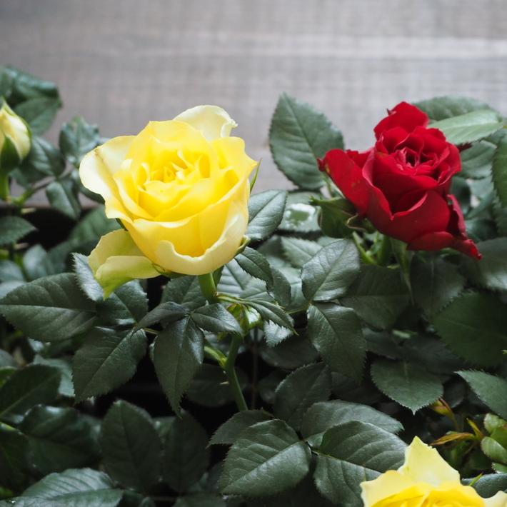 バラがいっぱいです。_a0292194_20493870.jpg