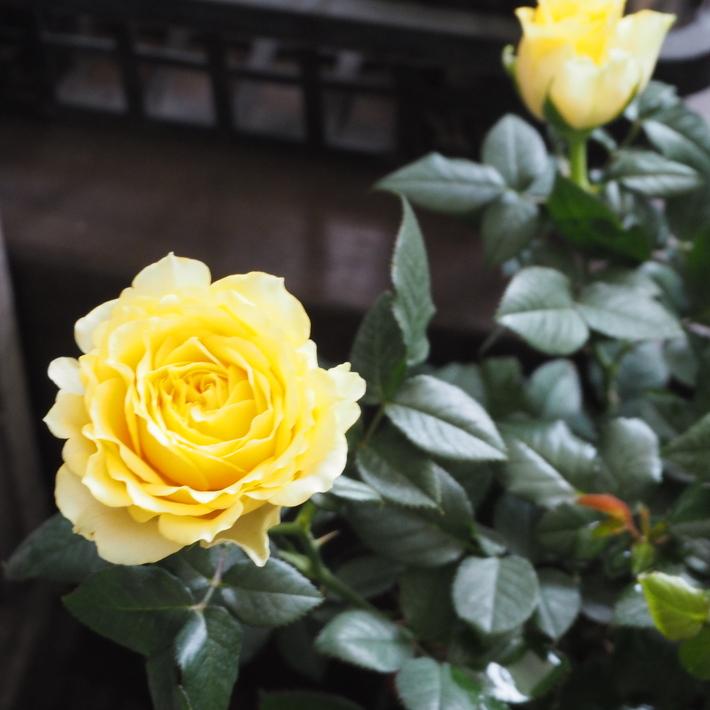 バラがいっぱいです。_a0292194_22273070.jpg