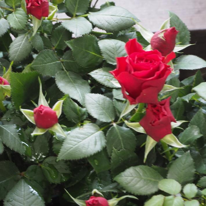 バラがいっぱいです。_a0292194_2227473.jpg
