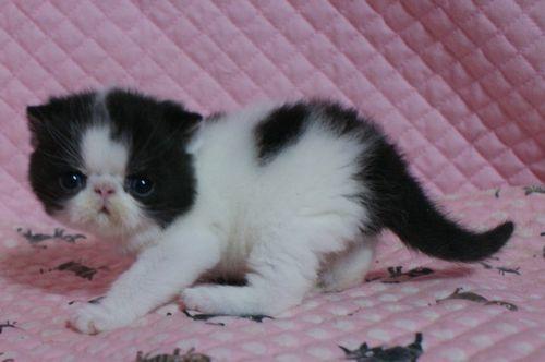 エキゾチックショートヘアー 子猫家族募集 ブラック&ホワイト 男の子_e0033609_22035358.jpg