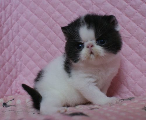 エキゾチックショートヘアー 子猫家族募集 ブラック&ホワイト 男の子_e0033609_22040072.jpg