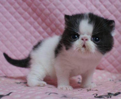 エキゾチックショートヘアー 子猫家族募集 ブラック&ホワイト 男の子_e0033609_22040857.jpg
