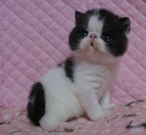 エキゾチックショートヘアー 子猫家族募集 ブラック&ホワイト 男の子_e0033609_22041419.jpg