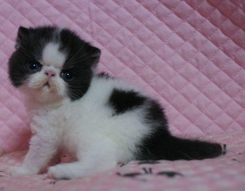 エキゾチックショートヘアー 子猫家族募集 ブラック&ホワイト 男の子_e0033609_22042240.jpg