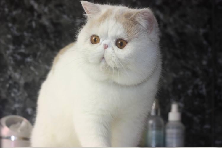 エキゾチックショートヘアー 子猫家族募集 ブラック&ホワイト 男の子_e0033609_22062596.jpg