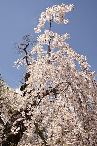 角館武家屋敷通り・2017桜(2)_b0259218_23394293.jpg