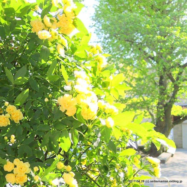 モッコウバラ・黄