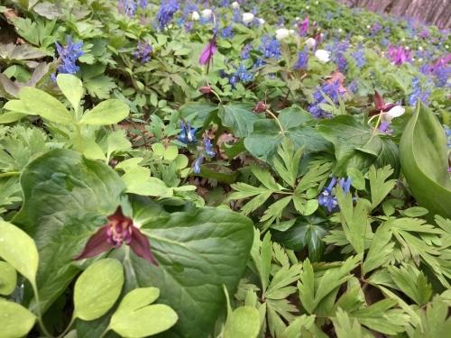 ピンクとブルーの絨毯~「男山自然公園」_e0326953_22025409.jpg