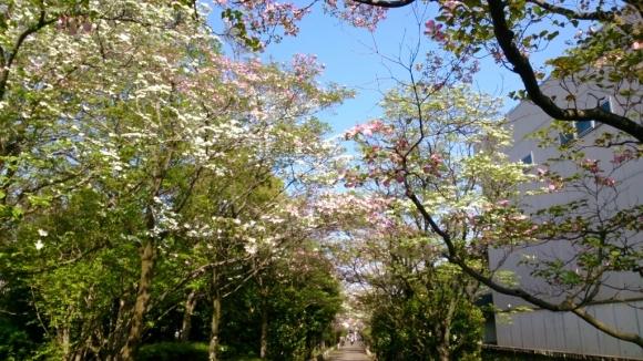 花と緑の別世界、ハナミズキの森。_d0116059_15082146.jpg
