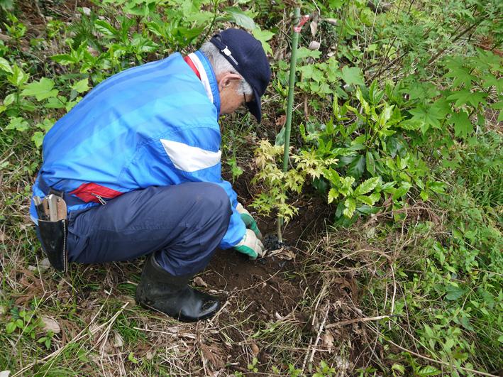 六国見山植樹本数306本に、実生のイロハモミジ5本追加4・27_c0014967_15312464.jpg