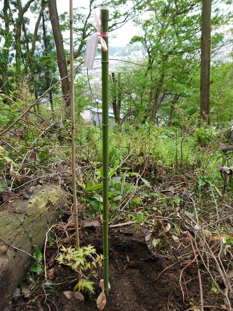 六国見山植樹本数306本に、実生のイロハモミジ5本追加4・27_c0014967_15313969.jpg