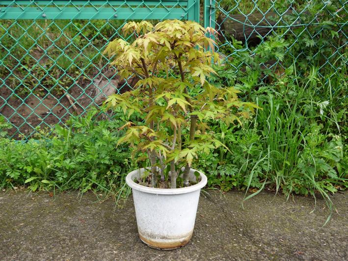 六国見山植樹本数306本に、実生のイロハモミジ5本追加4・27_c0014967_1531496.jpg
