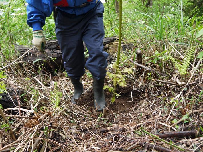 六国見山植樹本数306本に、実生のイロハモミジ5本追加4・27_c0014967_15331034.jpg