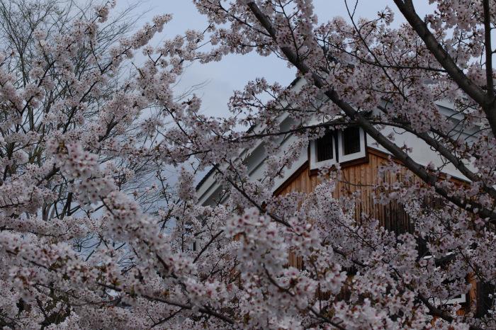 桜  2017  伏見 中書島界隈_f0021869_22253752.jpg