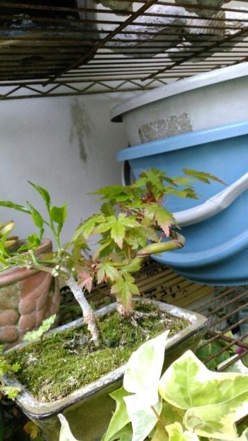 納豆定食と我が家のミニ盆栽_c0162773_00482462.jpg