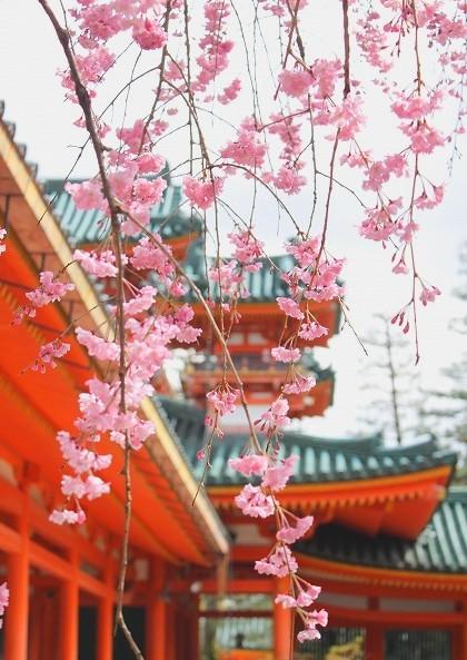 京都 平安神宮の桜 2017_f0374092_21354081.jpg