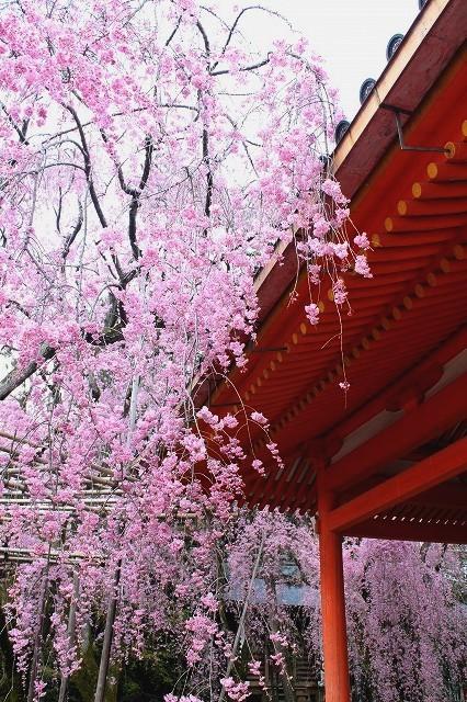 京都 平安神宮の桜 2017_f0374092_21385380.jpg
