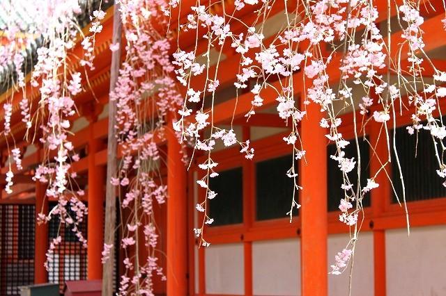 京都 平安神宮の桜 2017_f0374092_21430044.jpg