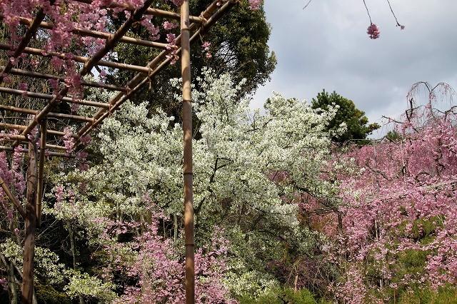 京都 平安神宮の桜 2017_f0374092_21450984.jpg