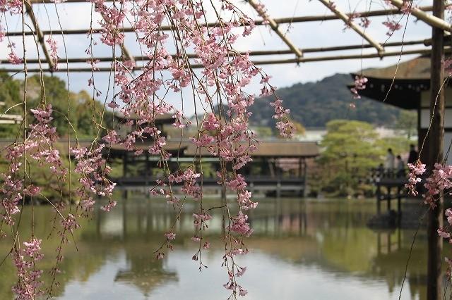 京都 平安神宮の桜 2017_f0374092_21503561.jpg