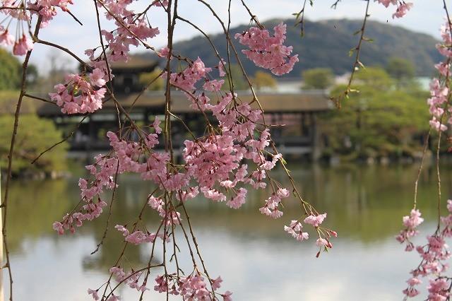 京都 平安神宮の桜 2017_f0374092_21521194.jpg