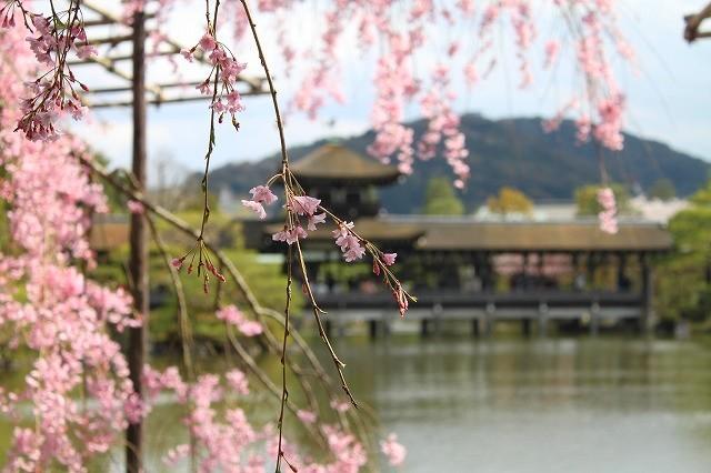 京都 平安神宮の桜 2017_f0374092_21525149.jpg