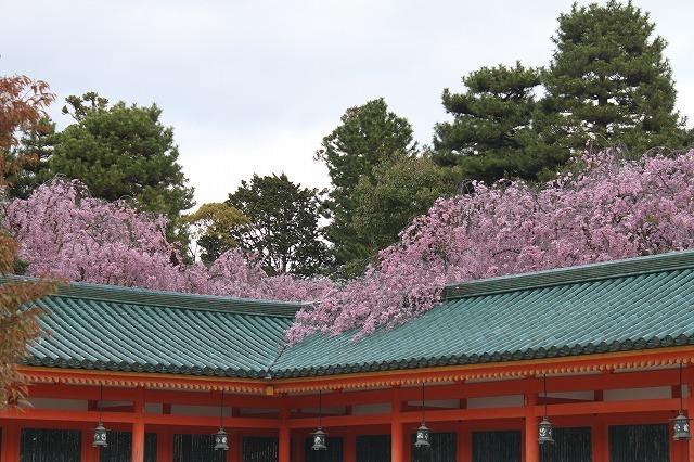 京都 平安神宮の桜 2017_f0374092_21531783.jpg