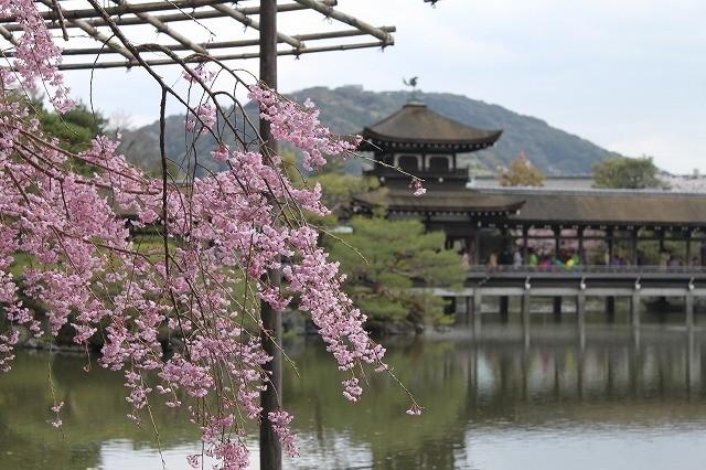 京都 平安神宮の桜 2017_f0374092_22023572.jpg